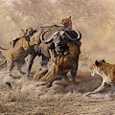 The Take Down - Lions Attacking Cape Buffalo Art Print by Alan M Hunt
