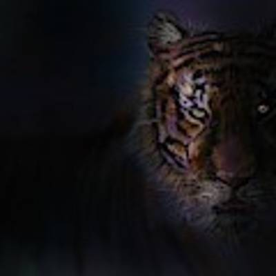 Tiger In The Dark Art Print by Darren Cannell