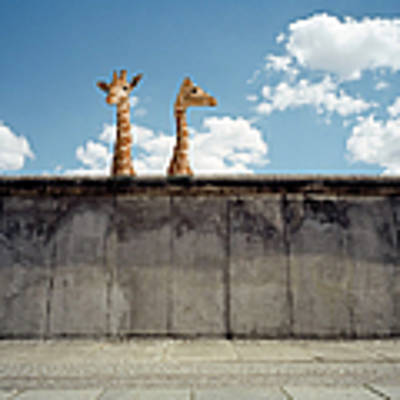 Two Giraffes Watching From A Wall Art Print by Matthias Clamer
