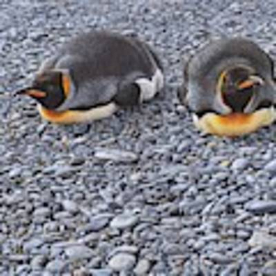 Two King Penguins By Alan M Hunt Art Print by Alan M Hunt