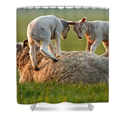 Leap Sheeping Lambs Shower Curtain by Roeselien Raimond