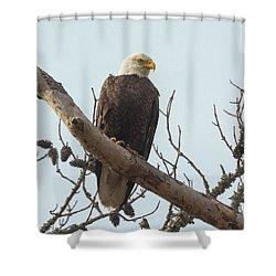 Resting Bald Eagle Shower Curtain