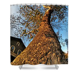 001 Oldest Tree Believed To Be Here In The Q.c. Series Shower Curtain