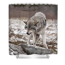 Shower Curtain featuring the photograph Adult Timber Wolf by Wolves Only