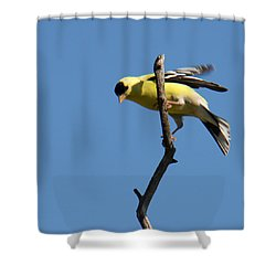 American Goldfinch Shower Curtain by Bob and Jan Shriner