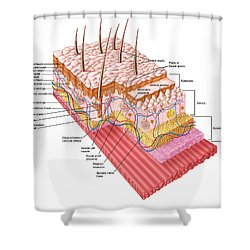 Anatomy Of The Human Skin Shower Curtain by Stocktrek Images
