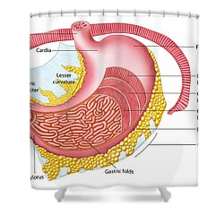 Anatomy Of The Human Stomach Shower Curtain by Stocktrek Images