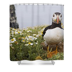 Atlantic Puffin In Breeding Plumage Shower Curtain by Sebastian Kennerknecht