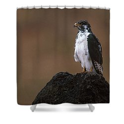 Augur Buzzard Shower Curtain by Art Wolfe