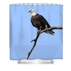 Bald Eagle 6 Shower Curtain by David Lester