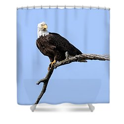 Bald Eagle 7 Shower Curtain by David Lester