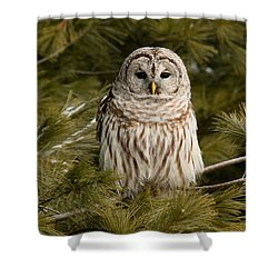 Barred Owl In A Pine Tree. Shower Curtain by Michel Soucy