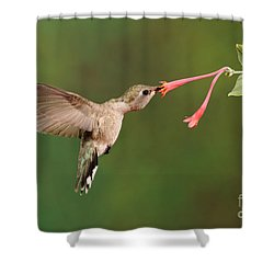 Black-chinned Hummingbird Shower Curtain by Scott Linstead