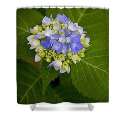 Blue Hydrangea Slow Eruption Shower Curtain