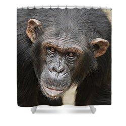 Chimpanzee Portrait Ol Pejeta Shower Curtain