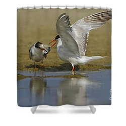Common Tern Sterna Hirundo Shower Curtain by Eyal Bartov