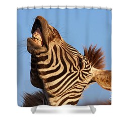 Laughing Zebra Shower Curtain by Nick  Biemans