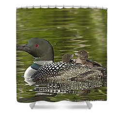 Loon Parent With Two Chicks Shower Curtain