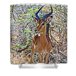 Male Impala In Kruger National Park-south Africa   Shower Curtain