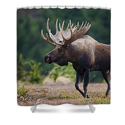 Moose Bull Walking On Autumn Tundra Shower Curtain by Milo Burcham