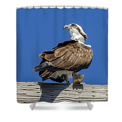Osprey With Fish In Talons Shower Curtain by Dale Powell