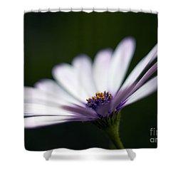 Osteospermum Daisy Shower Curtain by Tony Cordoza