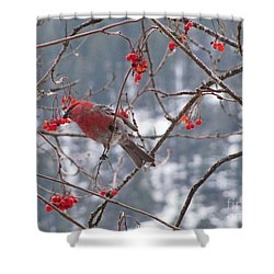 Pine Grosbeak And Mountain Ash Shower Curtain