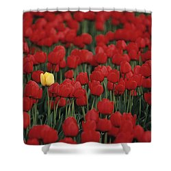 Rows Of Red Tulips With One Yellow Tulip Shower Curtain by Jim Corwin