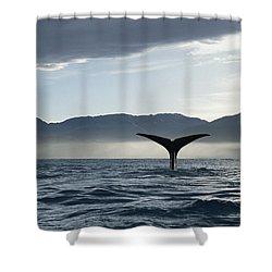 Sperm Whale Physeter Macrocephalus Shower Curtain by Flip Nicklin