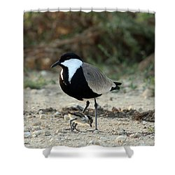Spur-winged Plover And Chick Shower Curtain