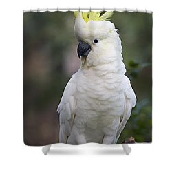 Sulphur-crested Cockatoo Displaying Shower Curtain