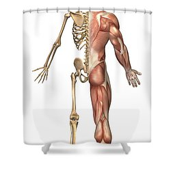 The Human Skeleton And Muscular System Shower Curtain by Stocktrek Images