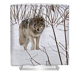 Shower Curtain featuring the photograph Timber Wolf by Wolves Only