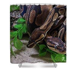 Two Burmese Pythons Python Bivittatus Shower Curtain