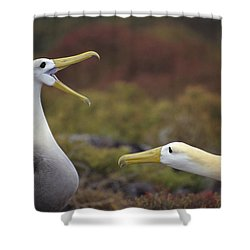 Waved Albatross Courtship Display Shower Curtain by Tui De Roy