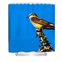 Western Kingbird Shower Curtain by Robert Bales