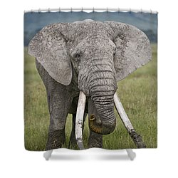 African Elephant Loxodonta Africana Shower Curtain by Panoramic Images