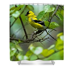Shower Curtain featuring the photograph American Goldfinch by Robert L Jackson
