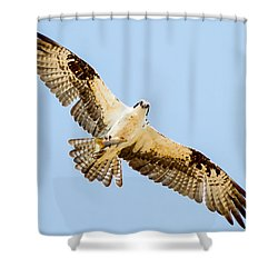 An Osprey Feeding On A Trout Shower Curtain