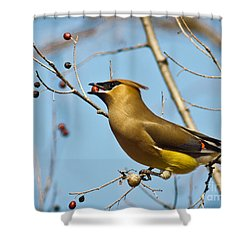 Cedar Waxwing With Berry Shower Curtain by Robert Frederick