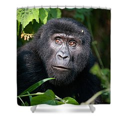 Close-up Of A Mountain Gorilla Gorilla Shower Curtain by Panoramic Images