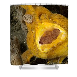Frogfish With Large Lure, Open Mouth Shower Curtain by Steve Jones
