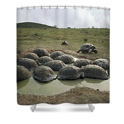Galapagos Giant Tortoises Wallowing Shower Curtain by Tui De Roy