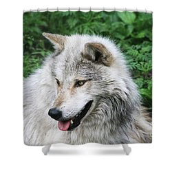 Gray Wolf Shower Curtain by Alyce Taylor