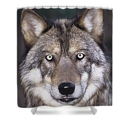 Gray Wolf Portrait Endangered Species Wildlife Rescue Shower Curtain by Dave Welling