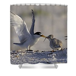 Least Tern Feeding It's Young Shower Curtain by Meg Rousher