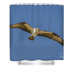 Osprey In Flight Spreading His Wings Shower Curtain by Dale Powell