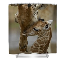 Shower Curtain featuring the photograph Rothschild Giraffe And Calf by San Diego Zoo