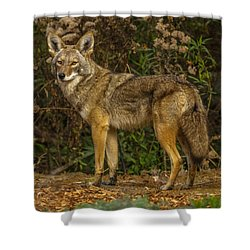 The Coyote Shower Curtain