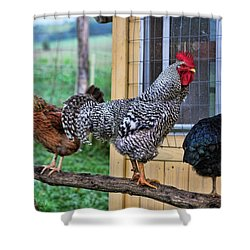 3 Chickens Shower Curtain by Denise Romano
